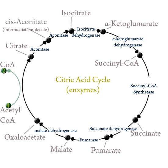 citric acid cycle. Citric Acid Cycle