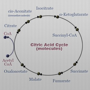 Cictric Acid Cycle molecules