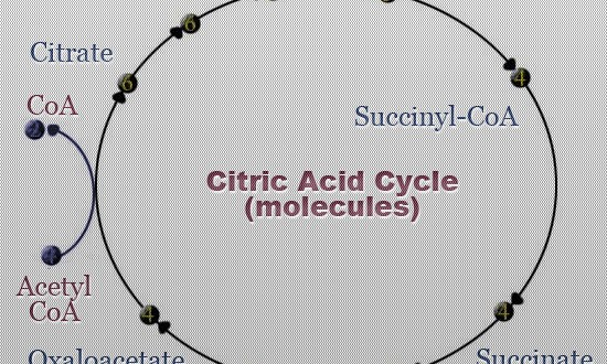 krebs cycle video