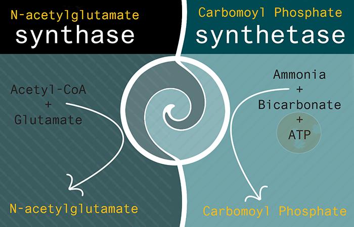 Carbomoyl Phosphate Synthetase Image