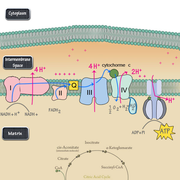 The electron transport chain steps simplified dbriers electron transport chain ccuart Choice Image