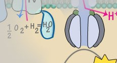 Electron transport chain final step