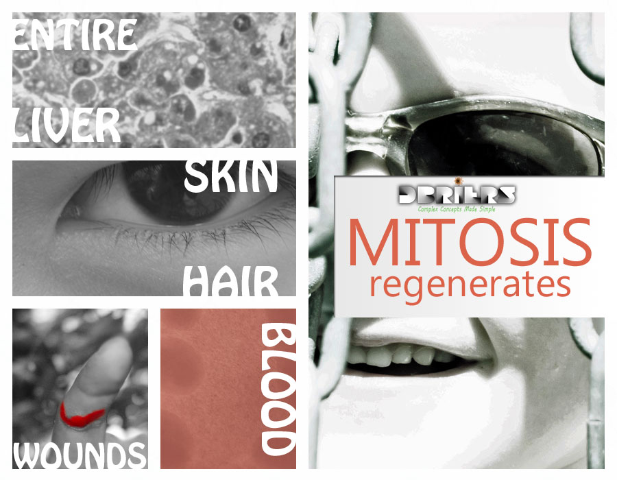 Simple Mitosis Stages Preparation for Mitosis