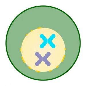 Prophase of Mitosis