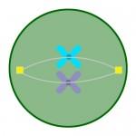metaphase of mitosis