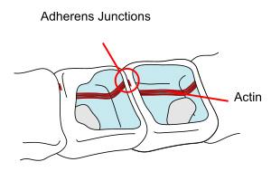 Adherens