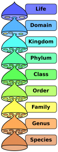 The hierarchy of biological classification's eight major taxonomic ranks. Intermediate minor rankings are not shown.