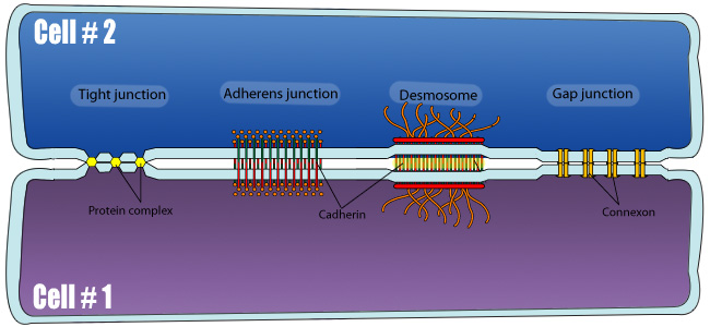 Cell Junctions Overview