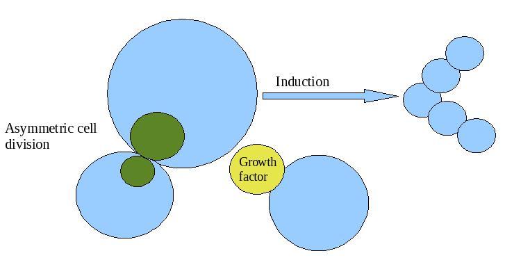 Mechanisms of cellular differentiation