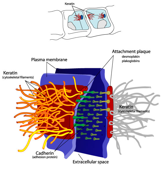 Desmosome cell junction