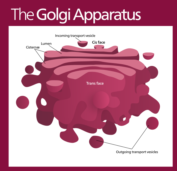 animal cell golgi bodies - photo #18