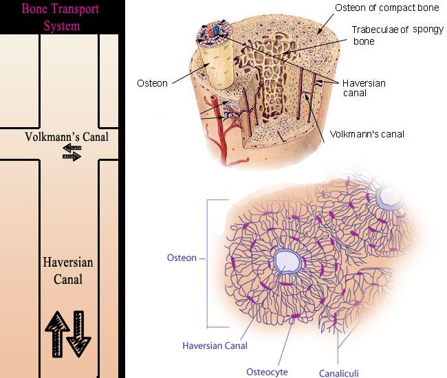 Anatomy Bone Cell Diagram - Block And Schematic Diagrams •