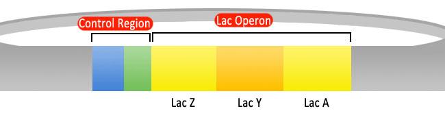 Lac operon