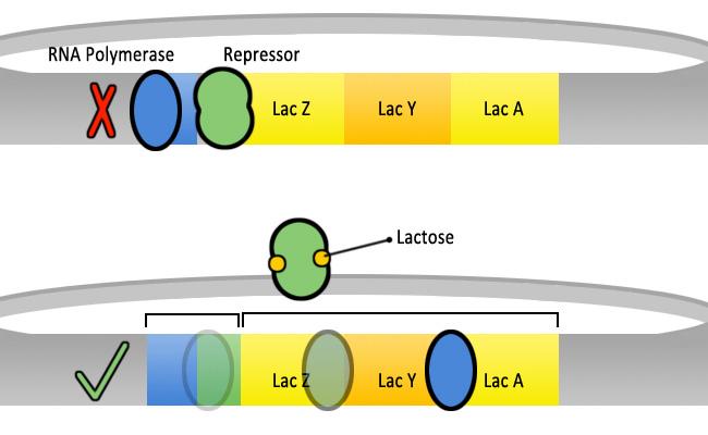 Lac_operon_regulation
