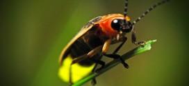 Ligtning Bug