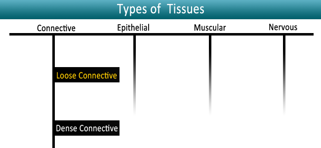 Loose-Connective-Tissue