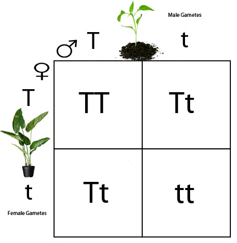 What is a Punnett Square Simplified – DBriers.com
