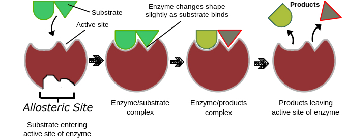 how enzymes work in the home Enzymes are proteins that allow certain chemical reactions to take place much quicker than the reactions would occur on their own enzymes function as catalysts.