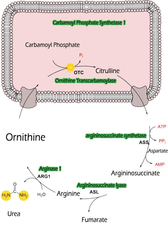 Urea Cycle Enzymes