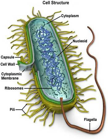 What are bacteria simplified