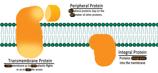 a brief introduction to integrins a large family of homologous transmembrane linker proteins that in Introduction integrins are a superfamily of cell-surface receptors, so-named for their properties as integral membrane complexes integrating the extracellular and intracellular environment of cells 1 ⇓-3 they achieve this through bidirectional signaling, to regulate and respond to the binding of soluble, cell-surface, and extracellular matrix ligands.
