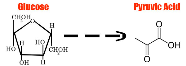 Glycolysis-Pyruvic-Acid