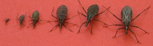 Kissing Bugs kid to adult