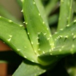 The Benefits of Aloe Vera Gel